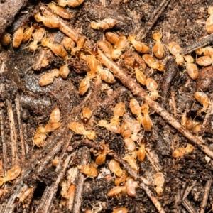 Nasutitermes sp. (genus) (Snouted termite, Gluegun termite) at Bruce, ACT by Roger