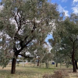 Eucalyptus sideroxylon (Mugga Ironbark) at Wanniassa, ACT by jksmits