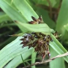 Luzula densiflora (Dense Wood-rush) at Downer, ACT - 3 Aug 2021 by Tapirlord