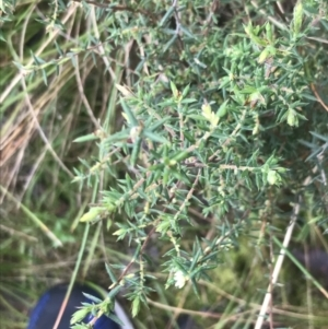 Leucopogon fletcheri subsp. brevisepalus (Twin Flower Beard-Heath) at suppressed by Tapirlord