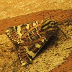 Apina callisto (Pasture Day Moth) at Paddys River, ACT - 8 Apr 2021 by michaelb
