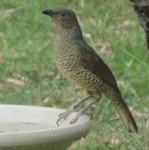 Ptilonorhynchus violaceus (Satin Bowerbird) at Conder, ACT by michaelb