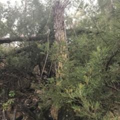 Cyathea australis (TBC) at Acton, ACT - 3 Aug 2021 by Tapirlord
