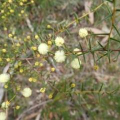 Acacia genistifolia (TBC) at suppressed - 19 Jul 2021 by MatthewFrawley