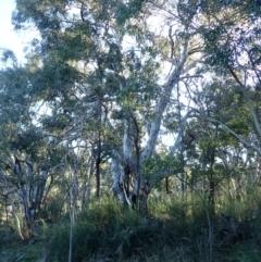 Eucalyptus mannifera subsp. mannifera (Brittle Gum) at Majura, ACT - 5 Aug 2021 by jbromilow50