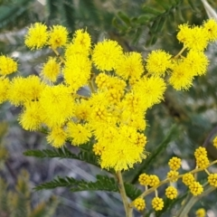 Acacia decurrens (Green Wattle) at Cook, ACT - 5 Aug 2021 by drakes