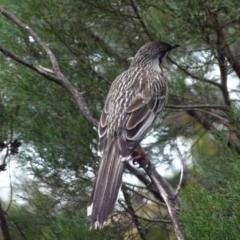 Anthochaera carunculata (Red Wattlebird) at Queanbeyan West, NSW - 31 Jul 2021 by Paul4K
