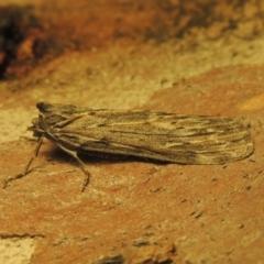 Ciampa arietaria (Brown Pasture Looper Moth) at Paddys River, ACT - 14 Apr 2021 by michaelb