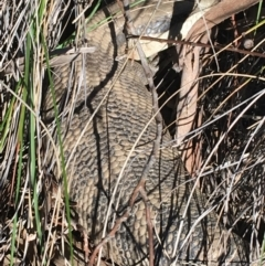 Tiliqua scincoides scincoides (Eastern Blue-tongue) at O'Connor, ACT - 7 Aug 2021 by Ned_Johnston