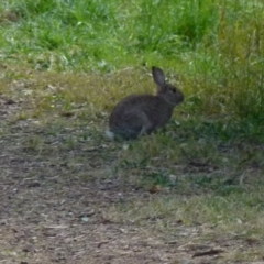 Oryctolagus cuniculus (European Rabbit) at Queanbeyan West, NSW - 7 Aug 2021 by Paul4K
