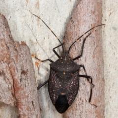 Poecilometis patruelis (Gum Tree Shield Bug) at Molonglo Valley, ACT - 6 Aug 2021 by rawshorty