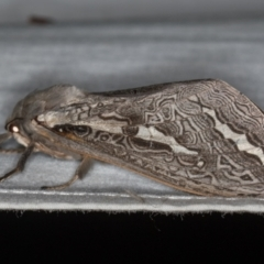 Abantiades labyrinthicus (Labyrinthine Ghost Moth) at Paddys River, ACT - 11 Mar 2021 by Bron