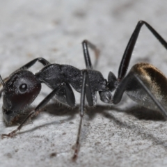 Camponotus suffusus (Golden-tailed sugar ant) at Acton, ACT - 8 Aug 2021 by TimL