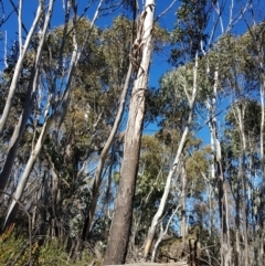 Eucalyptus sp. (A gum tree) at Cotter River, ACT - 7 Aug 2021 by danswell