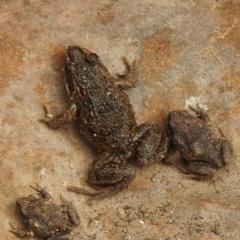 Limnodynastes tasmaniensis (Spotted Grass Frog) at Carwoola, NSW - 8 Aug 2021 by Liam.m