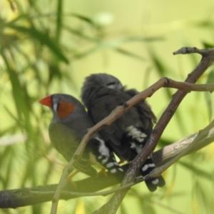 Taeniopygia guttata at Quambone, NSW - 24 Jan 2021