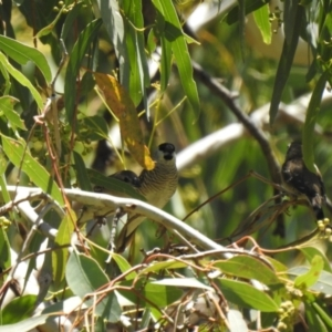 Neochmia modesta at The Marra, NSW - 24 Jan 2021