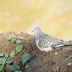 Geopelia placida (Peaceful Dove) at Geurie, NSW - 14 Jul 2020 by Liam.m