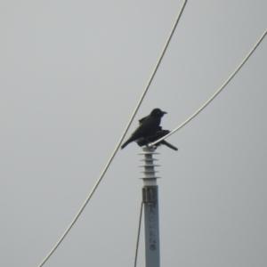Corvus bennetti at Lake Cargelligo, NSW - 13 Jul 2020