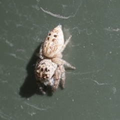 Opisthoncus grassator (Jumping spider) at Higgins, ACT - 6 Aug 2021 by AlisonMilton