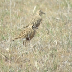 Peltohyas australis (Inland Dotterel) at Bland, NSW - 21 Oct 2017 by Liam.m