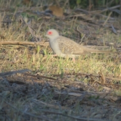 Geopelia cuneata (Diamond Dove) at Myall Park, NSW - 3 Oct 2017 by Liam.m