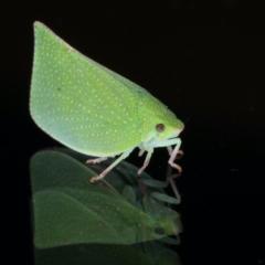 Siphanta acuta (Green planthopper, Torpedo bug) at Ainslie, ACT - 2 Aug 2021 by jbromilow50
