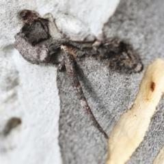 Conoeca guildingi (A case moth) at Greenway, ACT - 3 Aug 2021 by AlisonMilton