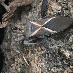 Mictis profana (Crusader Bug) at Hughes, ACT - 3 Aug 2021 by Tapirlord