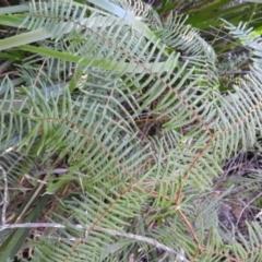 Gleichenia dicarpa (Wiry Coral Fern) at Bundanoon, NSW - 21 Jul 2021 by MatthewFrawley