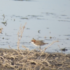 Charadrius ruficapillus (Red-capped Plover) at Lake Cargelligo, NSW - 4 Oct 2017 by Liam.m