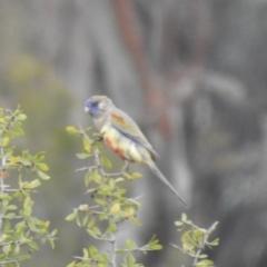 Northiella haematogaster (Greater Bluebonnet) at Lake Cargelligo, NSW - 13 Jul 2020 by Liam.m