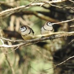 Taeniopygia bichenovii (Double-barred Finch) at Geurie, NSW - 14 Jul 2020 by Liam.m