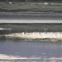 Recurvirostra novaehollandiae (Red-necked Avocet) at Fyshwick, ACT - 9 Aug 2021 by Liam.m