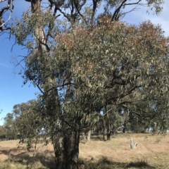 Eucalyptus macrorhyncha (Red Stringybark) at Forde, ACT - 5 Aug 2021 by Tapirlord
