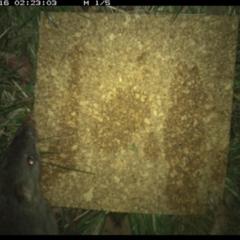 Perameles nasuta (Long-nosed Bandicoot) at suppressed - 15 Dec 2020 by StephCJ