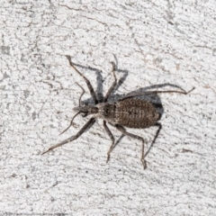 Reduviidae sp. (family) (TBC) at Jacka, ACT - 10 Aug 2021 by Roger