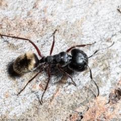 Camponotus suffusus (Golden-tailed sugar ant) at Jacka, ACT - 10 Aug 2021 by Roger