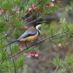 Acanthorhynchus tenuirostris (Eastern Spinebill) at Tuggeranong DC, ACT - 9 Aug 2021 by RodDeb