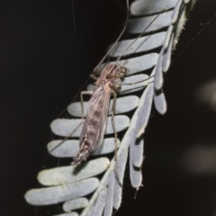 Chironomidae sp. (family) (TBC) at Fyshwick, ACT - 11 Aug 2021 by AlisonMilton