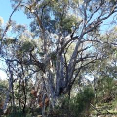 Eucalyptus mannifera subsp. mannifera (Brittle Gum) at Majura, ACT - 11 Aug 2021 by jbromilow50
