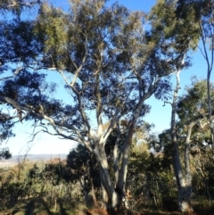 Eucalyptus rossii (Inland Scribbly Gum) at Majura, ACT - 10 Aug 2021 by jbromilow50
