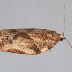 Epiphyas postvittana (Light Brown Apple Moth) at Ainslie, ACT - 9 Aug 2021 by jbromilow50