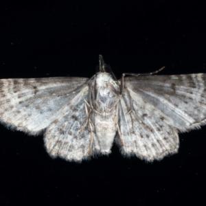Pasiphilodes testulata at Ainslie, ACT - 9 Aug 2021