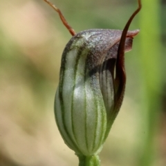 Pterostylis pedunculata at suppressed - 12 Aug 2021