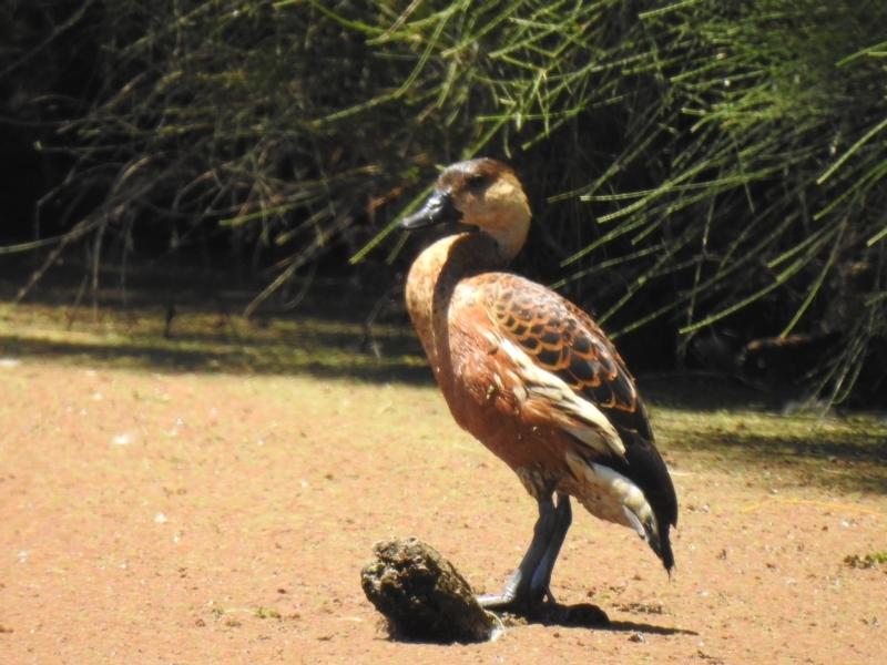 Dendrocygna arcuata at Shortland, NSW - 25 Jan 2021