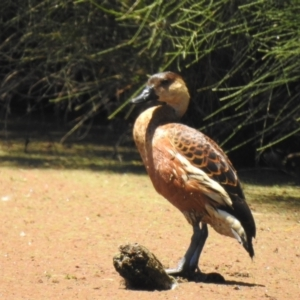 Dendrocygna arcuata (Wandering Whistling-Duck) at Shortland, NSW by Liam.m