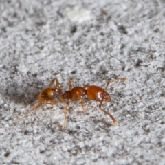 Pheidole sp. (genus) (Seed-harvesting ant) at Latham, ACT - 12 Aug 2021 by Roger