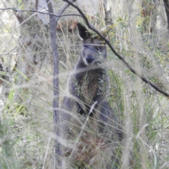 Wallabia bicolor (Swamp Wallaby) at Downer, ACT - 11 Aug 2021 by HelenCross