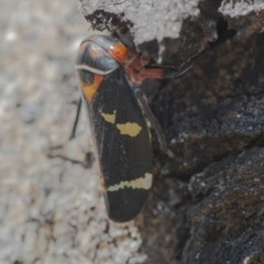 Eurymeloides pulchra (Gumtree hopper) at Googong, NSW - 12 Aug 2021 by WHall